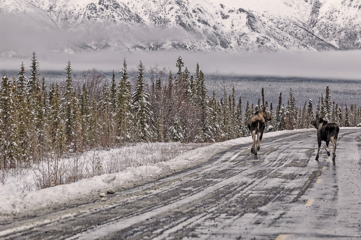 Sharing the road animals alaska driving