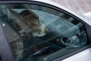 Pets and children hot car deaths