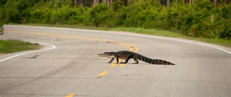 Driving through Florida's Alligator Alley