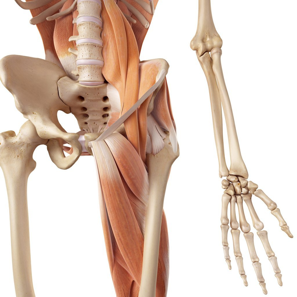 What is the Hip Flexor or Hip Flexor Muscle