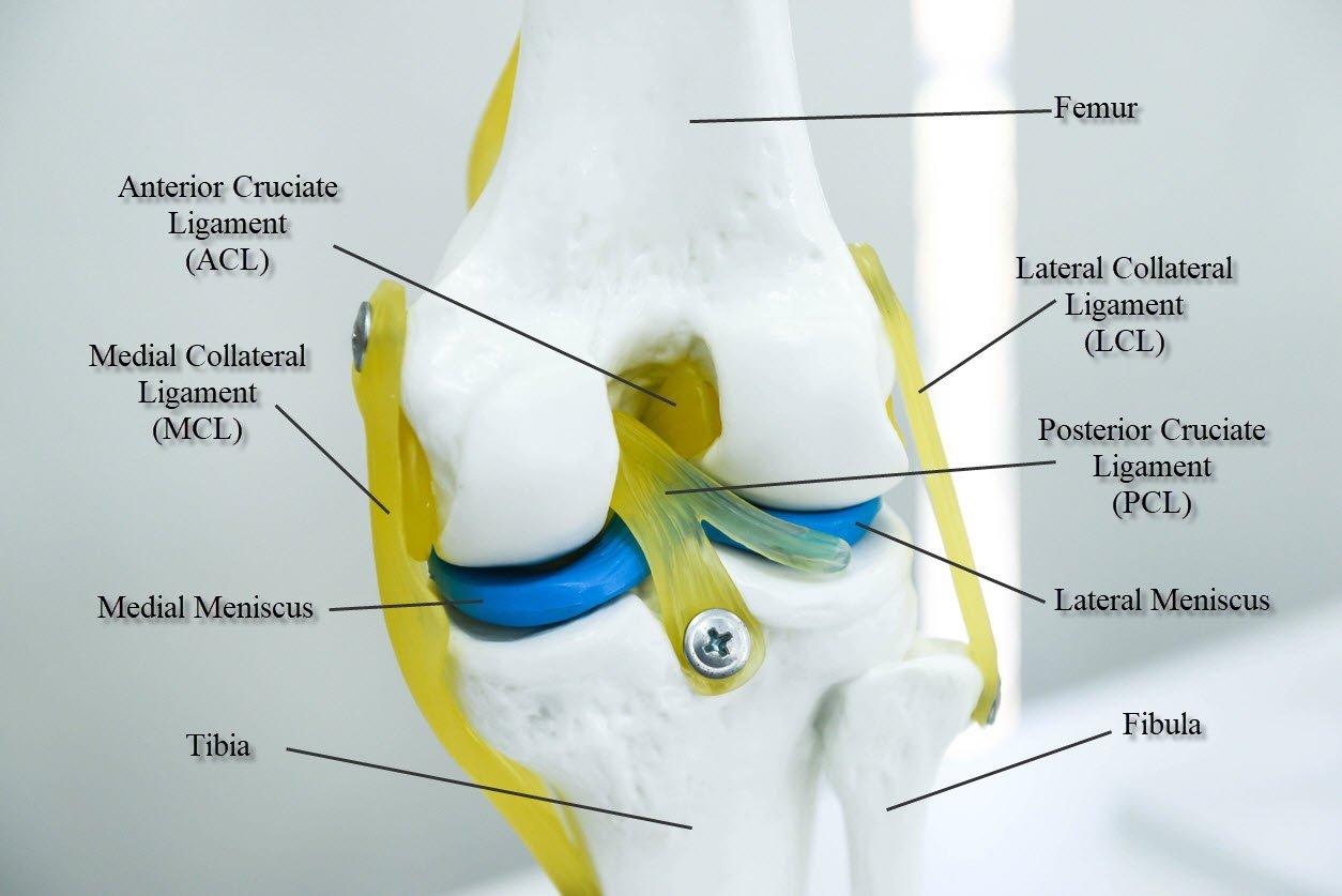 Knee Anatomy MCL JOI