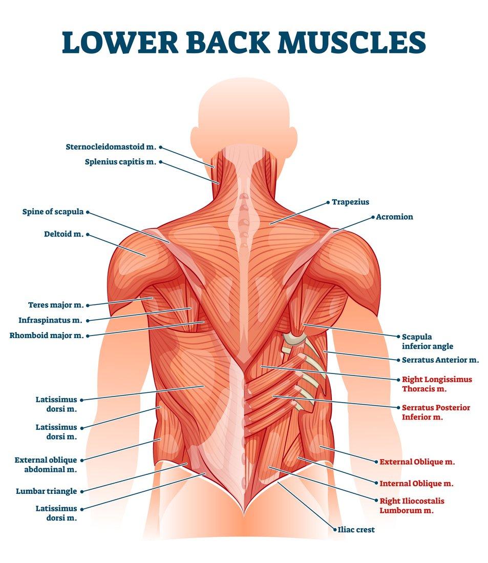 Anatomie du bas et du haut du dos