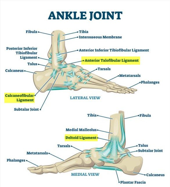 Calcaneofibular ligament, anterior talofibular ligament, deltoid ligament all highlighted in anatomy chart