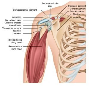 JOI Shoulder Anatomy
